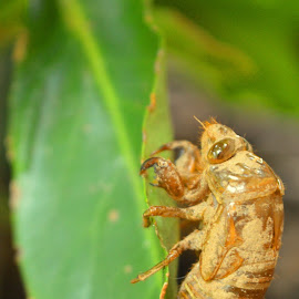 Cicada by Michele Kelley - Novices Only Wildlife ( nature, bugs, novices only, nature up close, wildlife )