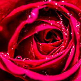 Rose Cave by Joseph Callaghan - Nature Up Close Flowers - 2011-2013 ( pure, rose, red, cave, rain )