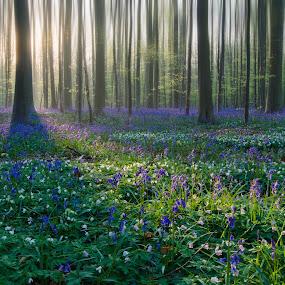 Hallerbos by Nick Vanderperre - Landscapes Forests ( hallerbos, landschap )