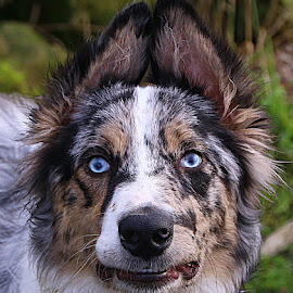 Louie Smile by Chrissie Barrow - Animals - Dogs Portraits ( mouth, white, portrait, eyes, border collie, blue, pet, ears, fur, blue merle, dog, smile, nose, tan, black )