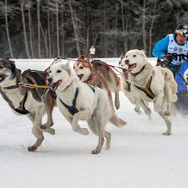 The group by Massimo Mazzasogni - Sports & Fitness Snow Sports ( dogs, sleddog, snow, sport, team, dog )