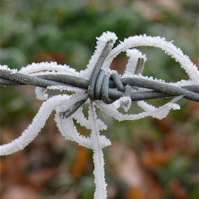Hoar Frost by Laura Payne - Nature Up Close Other Natural Objects ( curve, barb, hoar frost, curl, horse, frost, barbed wire, cow, icicle, barrier, dangle, nature, metal, ice, caught, hair, formation, water, wrap, wire, crystal, tangle, field, winter, season, twist, entwine,  )