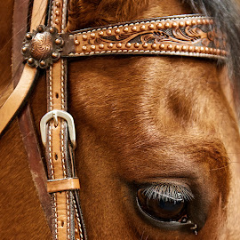 Giant by Josée Houle - Animals Horses ( horse, brown, nikon, head, eyes, animal,  )