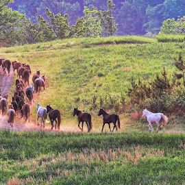 by Stacy Knighton - Animals Horses