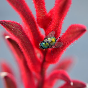 A Fly On My Kangaroo Paw! by Bradley Bath - Abstract Macro