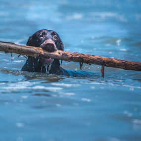 Swiming by Cristobal Garciaferro Rubio - Animals - Dogs Playing ( water, sea, swimmer dog, labrador, dog )