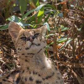 Serval by Karen Peirce - Animals Lions, Tigers & Big Cats