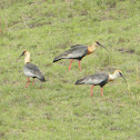 Cocli - Buff-necked Ibis