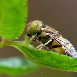 manyuruak by Just Arief - Animals Insects & Spiders ( hoverfly, macro, insect, natural, photography )