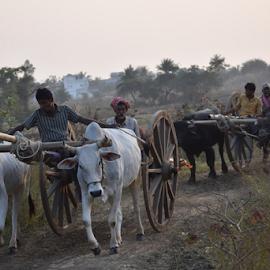 Bullock cart.  by Kausik Datta - Transportation Other ( bullock cart, bull, ox )