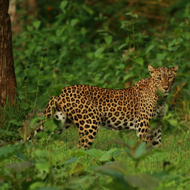 Leopard At Kabini by Ganesh Namasivayam - Animals Lions, Tigers & Big Cats ( leopard stare, kabini, leopard, panthera pardus )