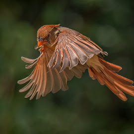 Lady Red by Roy Walter - Animals Birds ( bird, cardinal, female, wings, anima )