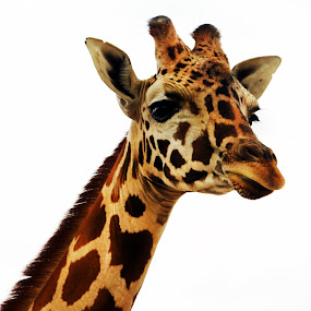 Giraffe by Cristobal Garciaferro Rubio - Animals Other Mammals