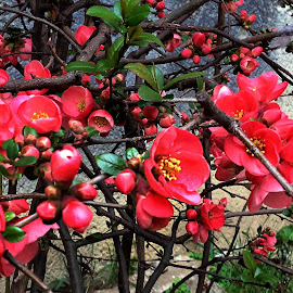 Red flowers by Claudiu Petrisor - Instagram & Mobile iPhone ( bushes, green, red flowers, yellow, spring )
