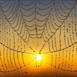 SPIDERWEB by Anita Richley - Nature Up Close Webs