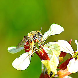 my Bee .. ..  by Dian Syifa - Animals Insects & Spiders