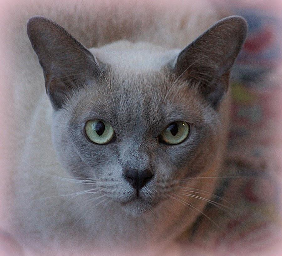 Lilac Burmese Cat by Caroline Beaumont - Animals - Cats Portraits ( lilac burmese cat )