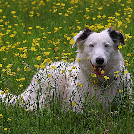 Buttercup Boy! by Chrissie Barrow - Animals - Dogs Portraits ( wild, tongue, grass, green, male, white, yellow, tail, portrait, buttercups, pet, fur, ears, dog, flowers, lurcher, nose, black )