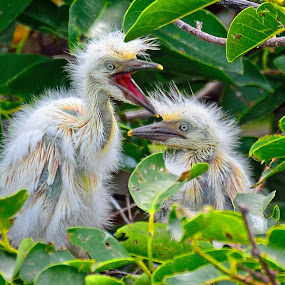 Cattle Egret Chicks by Alan Potter - Animals Birds