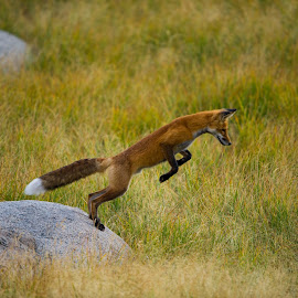 Fox in mid-leap by Greg Varney - Animals Other Mammals ( fox, grass, rock, yellowstone 2016, leap )