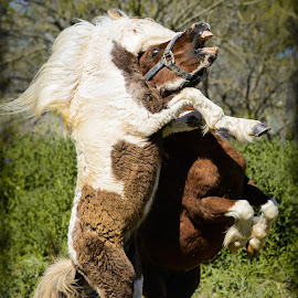 Pony Up by Judy Rosanno - Animals Horses ( battle, spat, horses, ponies, two ponies, action )