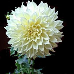 Dahlia by Nancy Young - Flowers Single Flower ( white flower, single flower, white, dahlia, flower,  )