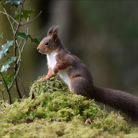 Red Squirrell by Ita Martin - Animals Other Mammals ( red squirrell )