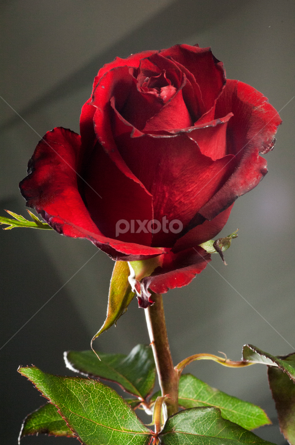 Red Rose by Cristobal Garciaferro Rubio - Nature Up Close Flowers - 2011-2013 ( rose, petal petals, roses, leaf, flowers, leaves, flower )