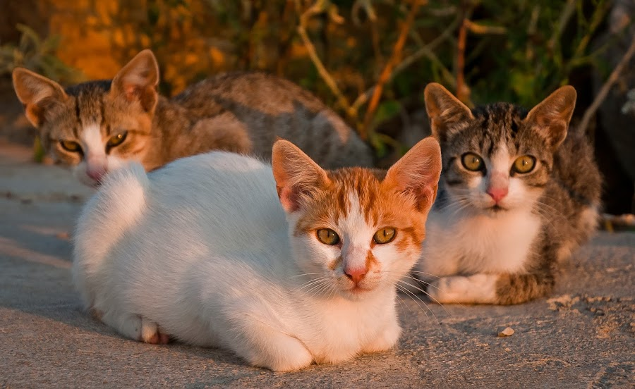 by Eduard Andrica - Animals - Cats Portraits ( cats, animals, threesome, natuire, feline )
