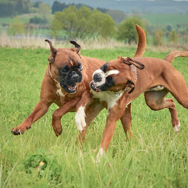 Friends by Jiri Cetkovsky - Animals - Dogs Playing ( boxer, boys, play, game, run, dog )
