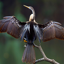 Oriental Darter by Madhu Soodanan - Animals Birds