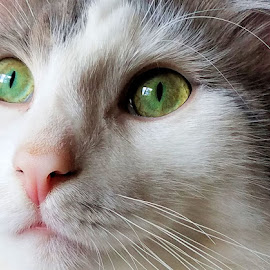 Patchy by Sandy Considine - Animals - Cats Portraits ( cat eyes, cat portrait, gray and white )