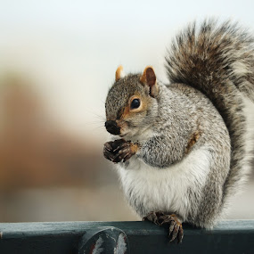 by Joey Chen - Animals Other Mammals ( furry friend, rodent, squirrel, animal )