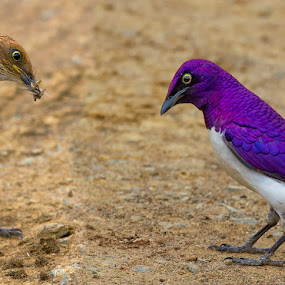 by Nobby Clarke - Animals Birds ( africa; kruger national park,  )