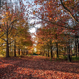 Autumn Trees by Jose Rojas - Landscapes Forests ( autumn, red leaves, trees, landscape, autumn trees,  )