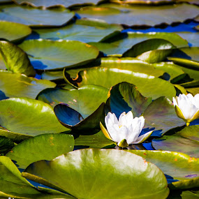Lily pads by Thomas Sjøen - Nature Up Close Other plants ( lily, pads, lake, aakrehamn, norway )