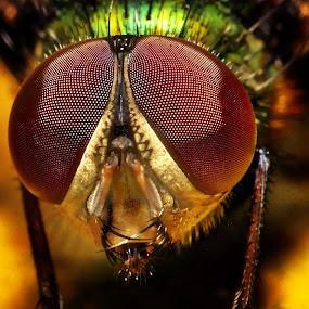 by Andy Teoh - Animals Insects & Spiders ( macro, fly, insect, close-up, andyteoh photography,  )