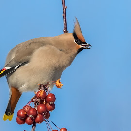Bohemian Waxwing by Tom Samuelson - Animals Birds