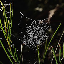 spiders web by Donna Racheal - Nature Up Close Webs ( up close, webs, spiders, nature, spider web )
