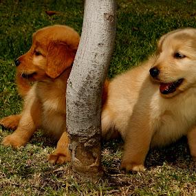 Couple by Cristobal Garciaferro Rubio - Animals - Dogs Puppies ( pets, puppie, dog, golden retriever )