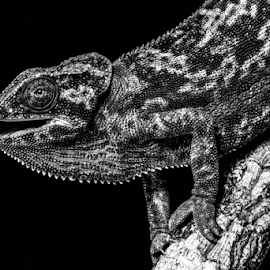 Open mouthed by Garry Chisholm - Black & White Animals ( macro, nature, reptile, lizard, garry chisholm )