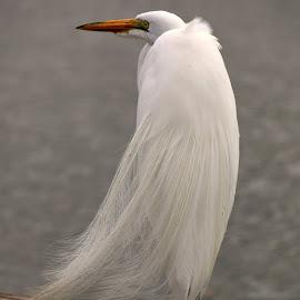 Bridal veil blowing in breeze by Val Brill - Animals Birds ( bird, egret )