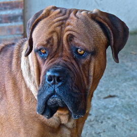 by Laura Payne - Animals - Dogs Portraits ( curve, face, muzzle, concentrate, curl, stare, line, loose, cute, skin, kind, fur, cuddly, brow, jowls, hair, black, profile, animal, bear, look, orange, turn, eyebrow, alert, frown, soft, wrinkle, mastiff, brown, dog, tan,  )