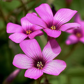 oxalis1 by Randy Young - Flowers Flowers in the Wild