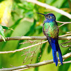 Beija-flor-tesoura(Swallow-tailed Hummingbird)