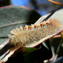 Sparshall's Moth caterpillar