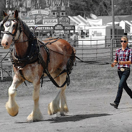 Driving A Clydesdale by Philip Molyneux - Animals Horses (  )