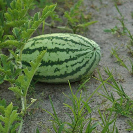 Joshua's watermelon by Terry Linton - Nature Up Close Gardens & Produce