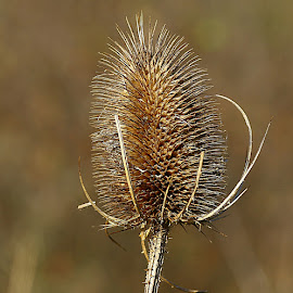 Winter Teasel by Chrissie Barrow - Nature Up Close Other Natural Objects ( spikes, nature, brown, teasel, bokeh, prickles, closeup )