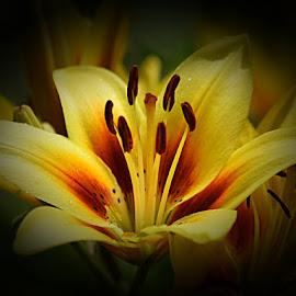by Emil Gunnary - Flowers Single Flower ( single flower, nikon, photography, lilly )